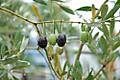 Olive2_0141