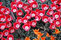 Tulip_0444