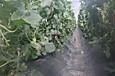 Melon_3486