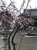 Sakura_2228