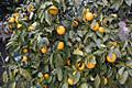 Lemon_1151