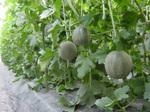 Melon060603