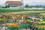 Tulip_f1