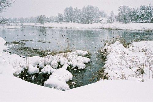沼のカモたち