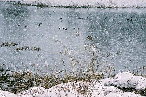 沼に休むカモたち